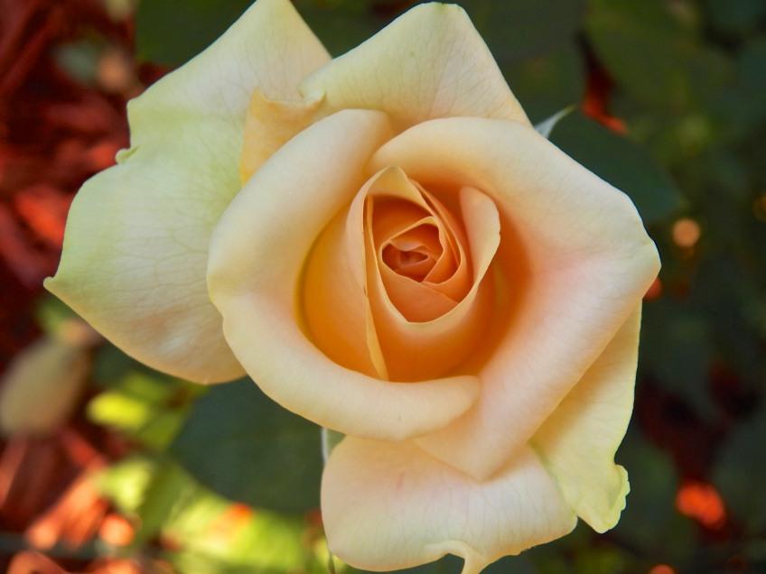 """Marilyn Monroe"", Hybrid Tea Rose"
