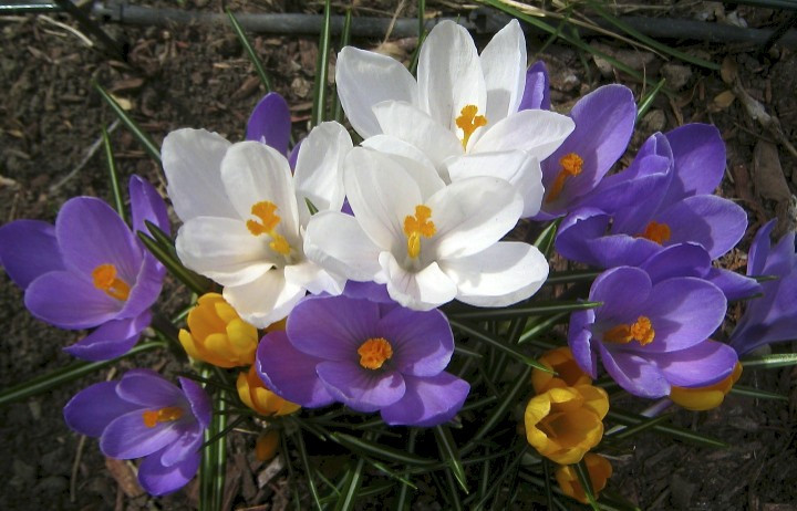 Crocuses on St. Joseph's