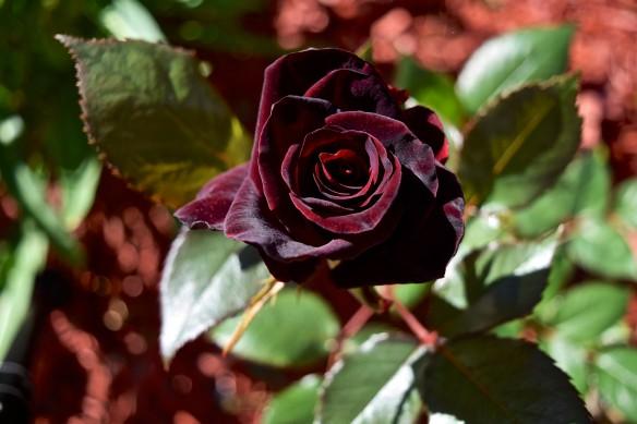 Black Baccara 2