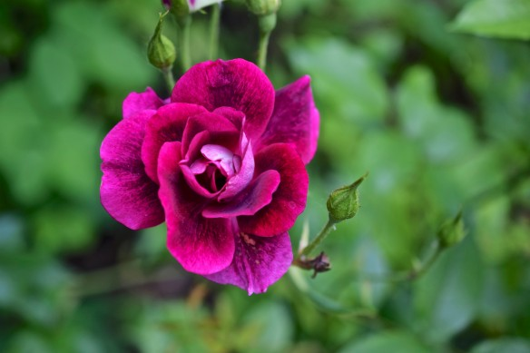 Burgundy Iceberg Rose