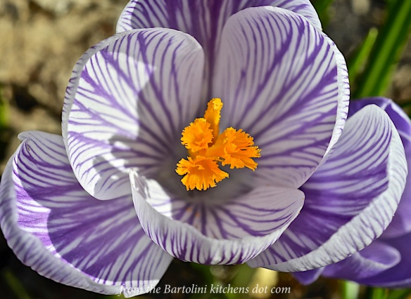 St. Joe's Crocus of 2016